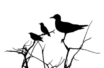 Black-headed gull and starlings on branches silhouette