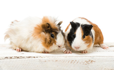 Pair of cute guinea pigs isolated on a white background