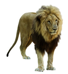 Foto op Canvas Leeuw Adult male lion. Isolated on white