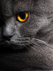 Poster Cat British shorthar face close up.