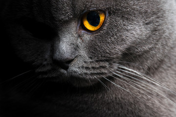 Photo Blinds Cat British shorthar face close up.