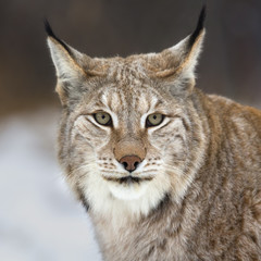 Foto op Plexiglas Lynx Lynx looking into camera