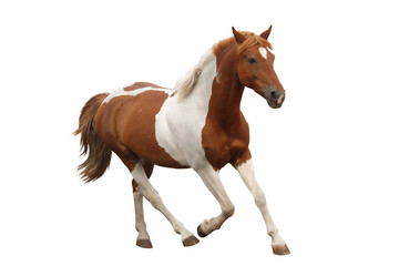Skewbald pony galloping isolated on white