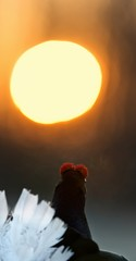 Sunrise Backlight Portrait of  Black grouse (Tetrao tetrix)