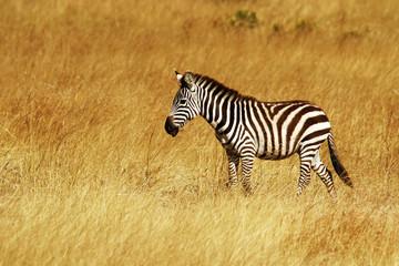 Zebra on the Masai Mara in Africa