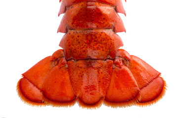 Boston lobster tail isolated on white