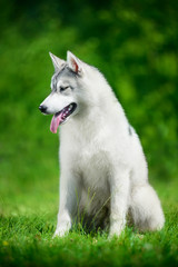 Portrait of Siberian husky on green foliage background