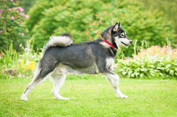 Alaskan malamute dog running in the garden