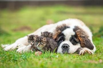 Wall Mural - Saint bernard puppy with three little kittens