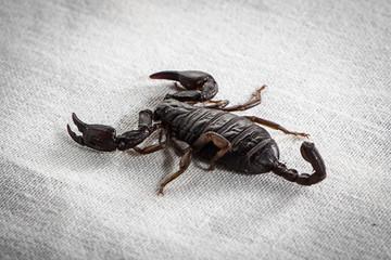 Photo of the scorpion on white