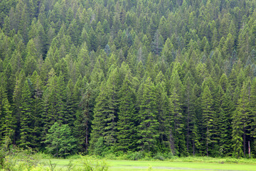 Densely grown pine trees on hill top