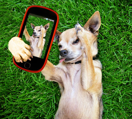 a cute chihuahua in the grass taking a selfie on a cell phone