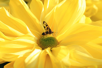 Chrysanthemum flower and moth