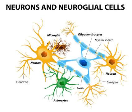 Glial cells in the brain