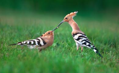 Eurasian hoopoes, male feeding female in courtship display