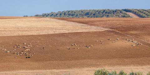 Garden Poster Sheep Herders met schapen, Marokko