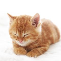 Wall Mural - Red kitten