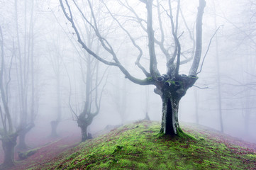 Wall Mural - magical forest with fog