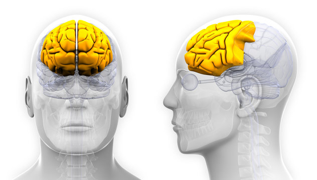 Male Frontal Lobe Brain Anatomy - isolated on white