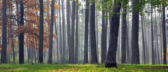 Forest trunks mist