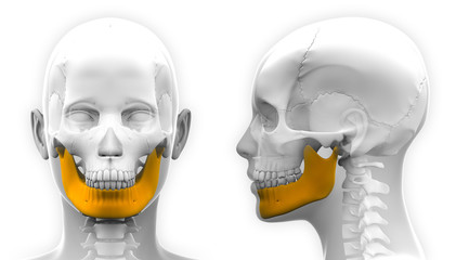 Female Mandible Bone Skull Anatomy - isolated on white