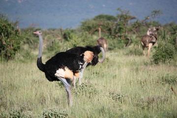Straußenfamilie in Kenia Tsavo West
