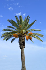 Date palm tree Latin name Phoenix dactylifera