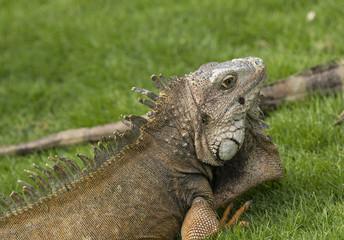 Green Iguana in a City Park