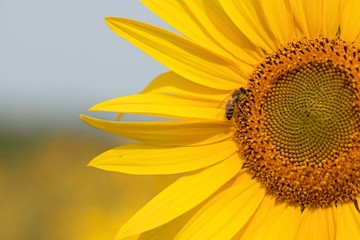 Bee on Sunflower. Sunflower field in Ontario, Canada