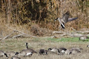 Canada Geese Landing in an Autumn Field