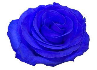 single beautiful blue rose bloom isolated on white