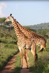 Giraffenpaar in der Masai Mara