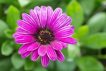 osteospermum, fleur violette