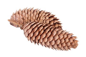 Spruce cones or cones of Picea abies