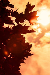 Maple tree leaves contre jour with warm sunbeam background Maple
