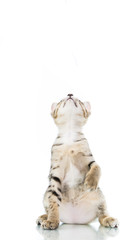 playful toyger kitten stand up show hand isolated