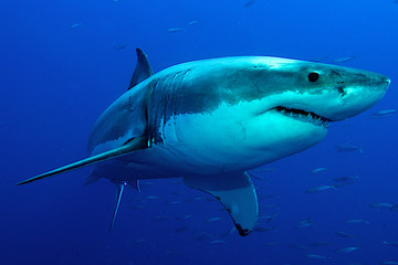Weißer Hai im tiefblauen Wasser