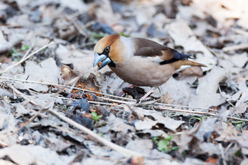 Coccothraustes coccothraustes, Hawfinch.