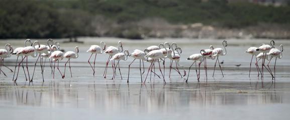 Beautiful great flamingos moving away in the low tidal water