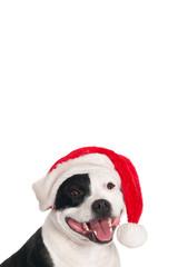 English Stafford bull terrier with Santa hat