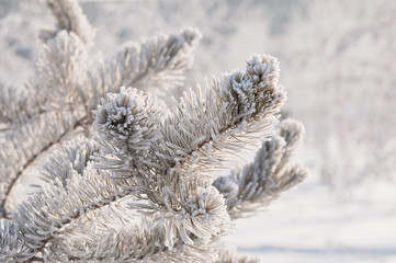 Frosty fir twigs in winter covered with snow, closeup photo