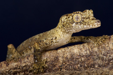 Wall Mural - Guenther's leaf-tailed gecko / Uroplatus guentheri