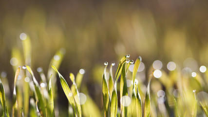 warm color fresh grass in morning dew