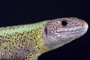 Iberian emerald lizard / Lacerta schreiberi