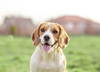 Happy Beagle dog outdoor portrait