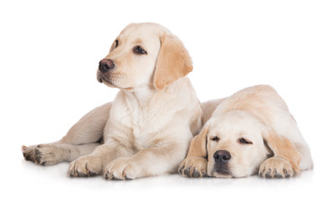 two labrador puppies lying down on white