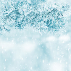 Winter background with snowy pine branches