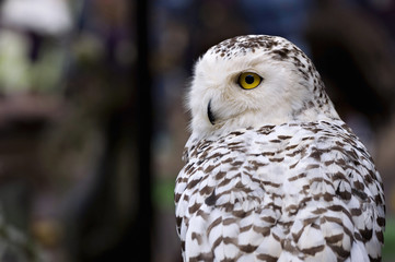 Snowy Owl Yellow Eyes in the forest