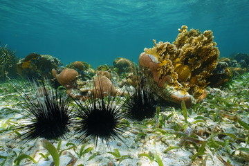Long spined sea urchins underwater