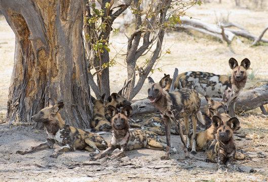 africa Botswana Okavango,   wild dogs